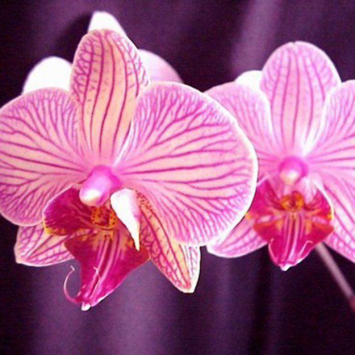 Les 64 meilleures images propos de orchid e sur pinterest fleurs d 39 orchid es fleur et - Prendre soin des orchidees ...