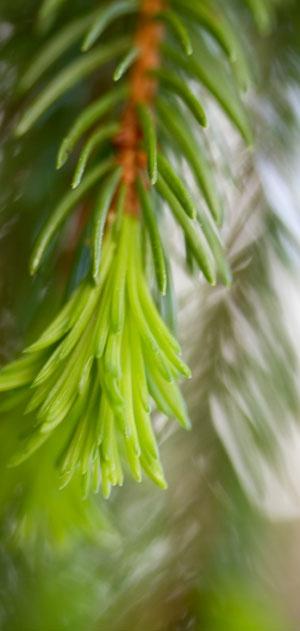 Swedish spruce