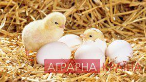 Перші дні курчат: вирощуємо без втрат » Аграрна Країна сайт для успішних селян та фермерів