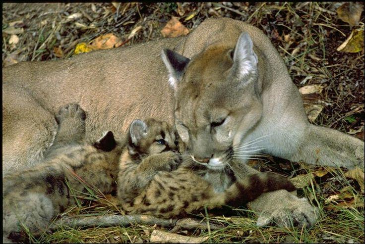 PUMA concolor especies promedio de una camada cada 2 a 3 años. Los cachorros tienen manchas cuando nacen, pero pierden a medida que crecen. Las manchas hayan desaparecido por completo por 2 ½ años de edad. Cachorros permanecen con su madre durante unos 2 años. Las hembras ferozmente defender a sus crías, incluso teniendo en osos grizzly. Los varones tienden a dejar un poco antes, y establecieron territorios más lejos de la gama materna, probablemente debido a la competencia de otros machos…