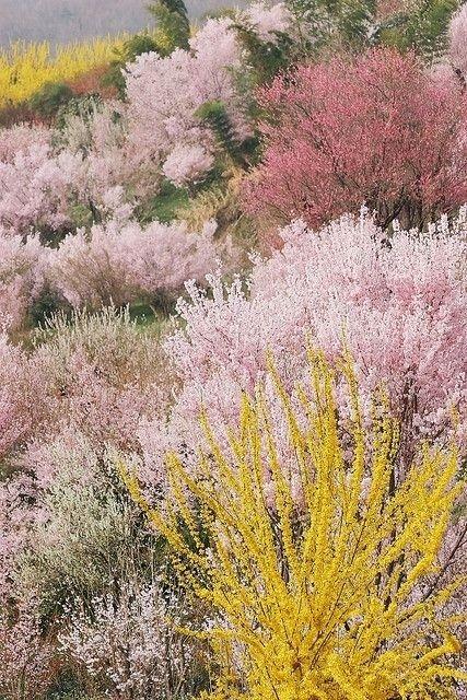 Full bloom in Hanamiyama, Japan.
