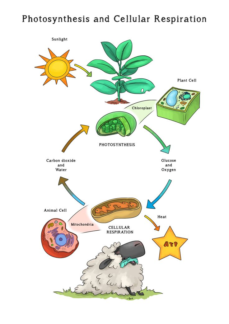 Pin by Loopy Lou on Loopy Lou Resources | Photosynthesis ...