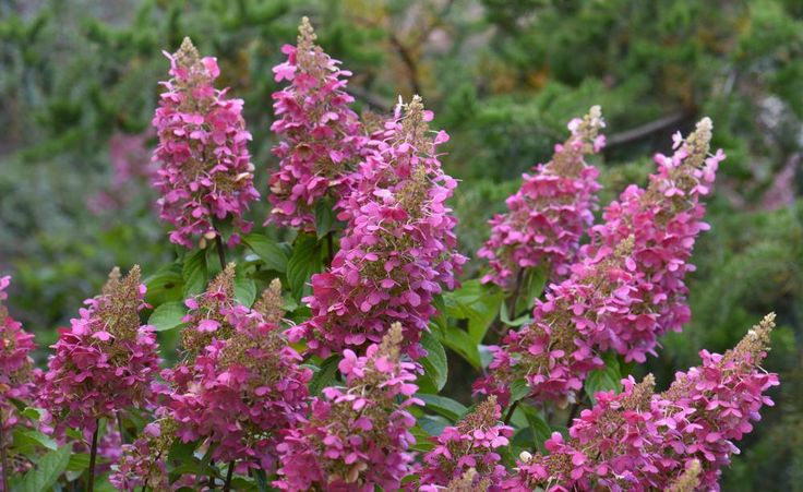 Wechselspiele von Creme bis Purpurrosa haben die großen Rispen der Hortensie 'Pinky Winky' zu bieten. Sie wird etwa zwei Meter hoch und blüht von August bis September