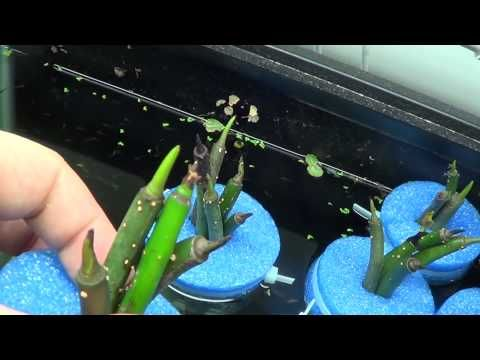 ▶ #220: How to Float Red Mangrove Seed Pods in an Aquarium - Tank Tip - YouTube