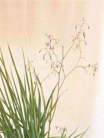 Full sun or shade - Dianella caerulea • Australian Native Plants Nursery • Plants • 800.701.6517