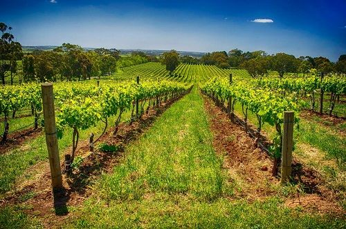 McLaren Vale Winery Experience South Australia. To learn more about Adelaide   South Australia, click here: http://www.greatwinecapitals.com/capitals/adelaide-south-australia