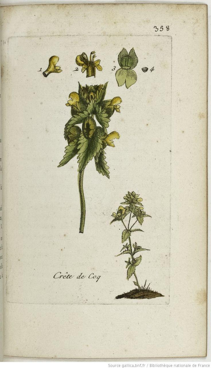 Rhinanthus crista galli. La crête de coq / L'herbe aux crêtes / L'herbe du coq