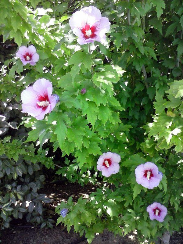 17 mejores ideas sobre arbustos de hoja perenne en for Arbustos con flores
