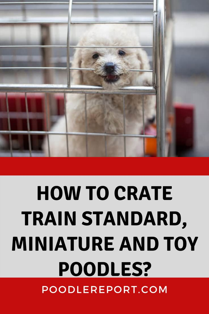 How to crate train standard miniature and toy poodles in