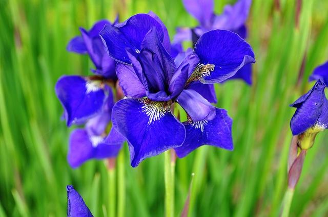 Blue Iris   Anne of Green Gables, p 222