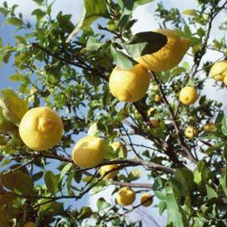The bottom limbs of lemon trees often bear the most fruit.