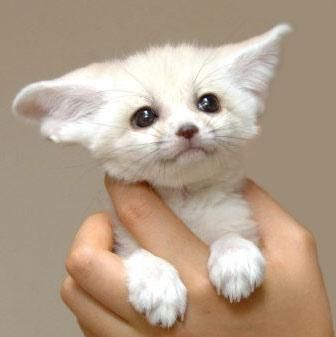 White Baby Fennec Fox, Held In A Hand. Source: