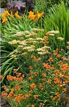 Plant portrait of Achillea 'Terracotta' with Erysimum 'Apricot Twist' in August at Lilac Cottage NGS, Gentleshaw, Staffordshire, UK