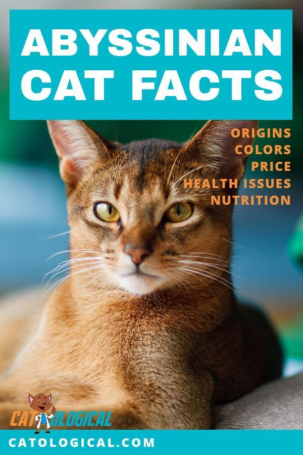 Abyssinian Cat Facts Colors Health Issues Nutrition And More