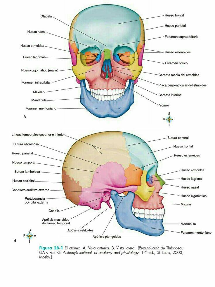 17 besten Anatomy Bilder auf Pinterest | Anatomie, Menschliche ...