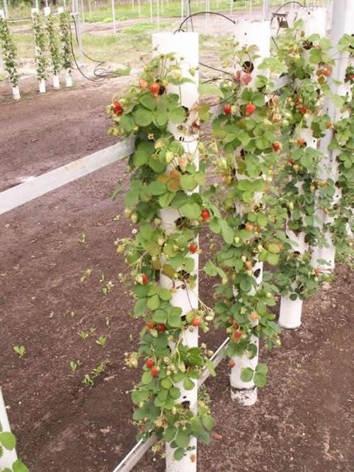 Growing strawberries vertically. Thisidea is great for fence posts in the veggie garden. Use the posts to run the supports for climbing plants like beans peas and cucumbers