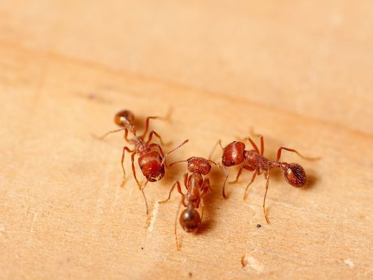 MADISON COUNTY --- Fire ants took shelter in man's car during Hurricane Irma, then swarmed out while he was driving on I-10, prompting him to roll the SUV. (September 2017)