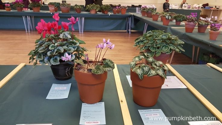 There were some super entries in the novice classes at The Cyclamen Society Show at RHS Garden Wisley.