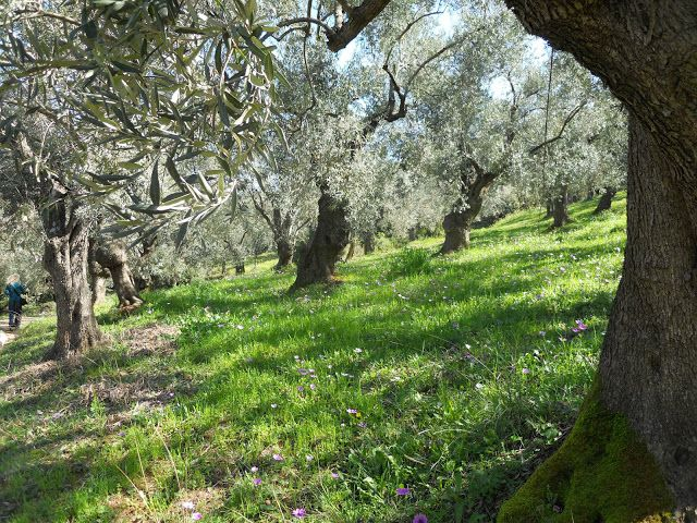 Endless olive groves in Milina- Pelion (Greece).  Pelion according to the legend is the hometown of centaurus. It were said to have inhabited the region of Magnesia and Mount Pelion in Thessaly (Greece). It has an exquisite climate and it is ideal for olive trees and other citrus trees. #pelion #travel #centaurus #olivetree #oliveoil #greece