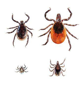 Top 10 things Campers Should Know about Ticks......Blacklegged ticks or Deer ticks