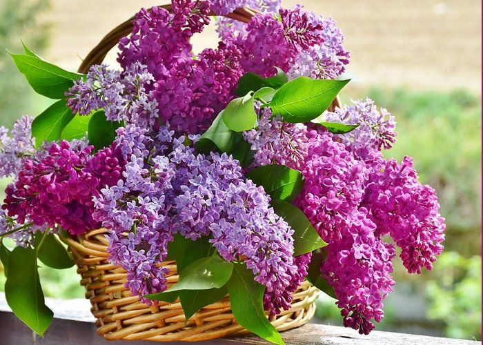 Lilac Greeting Card For Sale By Carlene Smith Plants Lilac Flowers