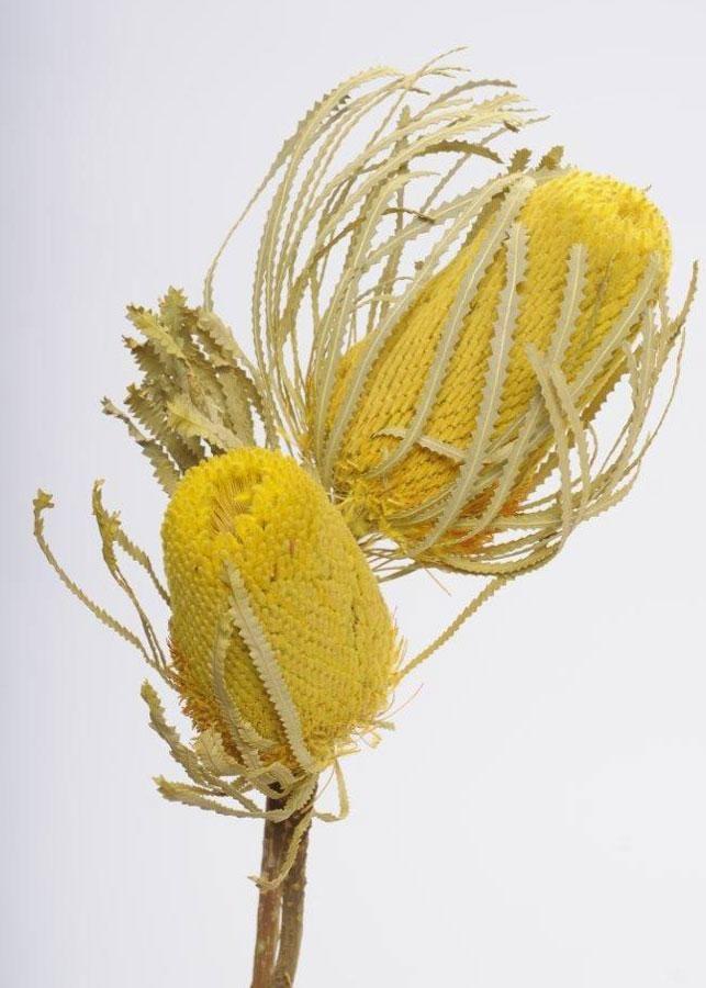 Pack Of 2 Dried Yellow Banksia With Leaves Dried Flower Arrangements Australian Native Flowers Australian Flowers