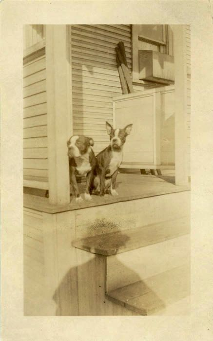 "Vintage Photo ""Boston Twins"" Terrier Snapshot Photo Old Antique Photo Black & White Photograph Found Photo Paper Ephemera Vernacular - 61"
