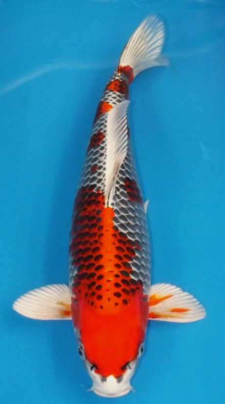282 best images about koi living art on pinterest for Koi fish kite