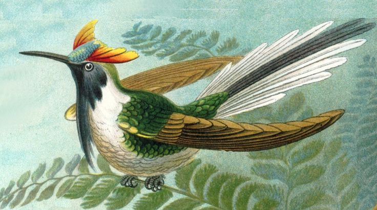 File:Haeckel - Heliactin bilophus.jpg