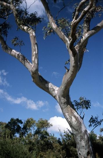 lovely gum tree