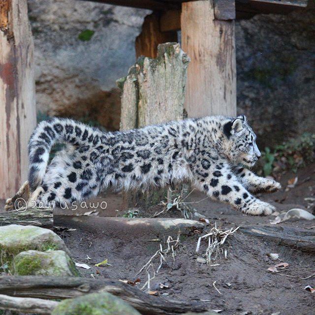 年末でバタバタ。写真はたまる一方…。ということで出しそびれていた写真のシェア祭りですよ。ナイトズーでの一コマ。薄暗くなると瞳孔が開いて黒目が大きくなるのがso cute eyes.*:;;:*:;;:*:;;:*#snowleopard #ユキヒョウ #bigcat #animalphotography #animal #動物 #動物園 #動物写真 #ファインダー越しの私の世界 #にゃんすたぐらむ #東京カメラ部 #ふわもこ部 #多摩動物公園 #Tokyo #Tamazoo