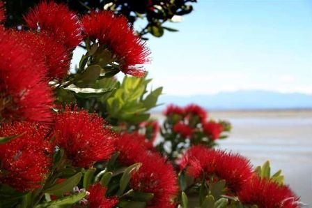 The Pōhutukawa is one of twelve Metrosideros species endemic to New Zealand. Renowned for its vibrant colour and its ability to survive even perched on rocky, precarious cliffs, it has found an important place in New Zealand culture for its strength and beauty and is regarded as a chiefly tree (rākau rangatira) by Māori