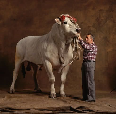 largest cattle breed-Chianina
