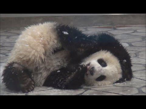 【転がったり】子パンダ桃浜☆人工雪を満喫♪【スリスリしたり♪】 Giant panda -Touhin- ☆artificial snow♪⛄ - YouTube