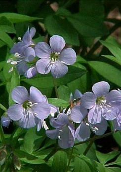 Jacob's Ladder. Natural wildflower in Maine.