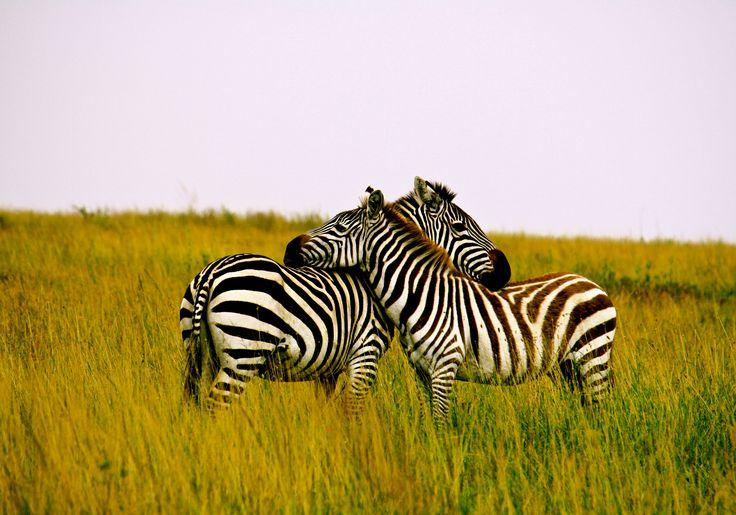Tanzania: Dream Vacation, Bucket List, Art Inspiration, African Safari, Beautiful Tanzania, Experience, Zebras Depend, Escape Route, Mutual Dependency
