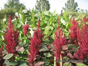 Amaranth plant of the 21st century