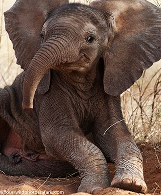 Baby elephant, Elephant Watch Portfolio, Nairobi, Kenya, wild safaris, wildlife safaris, conservation