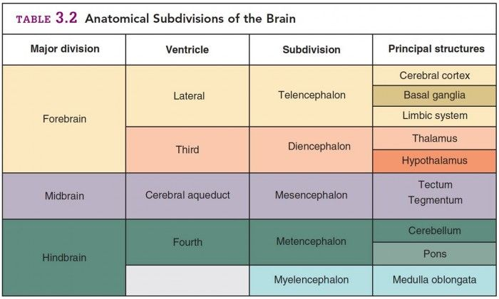 anatomy of the brain brain divisions [1] the left side of an axial or coronal brain image is the right side of the brain:  patient's  divisions primary divisions spinal cord telencephalon diencephalon.
