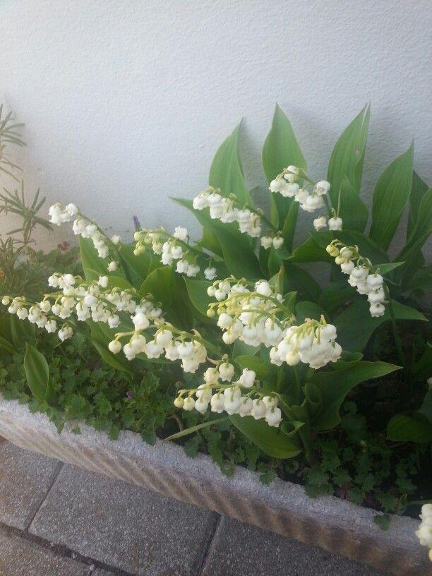 Sono fioriti i miei mughetti profumatissimi....