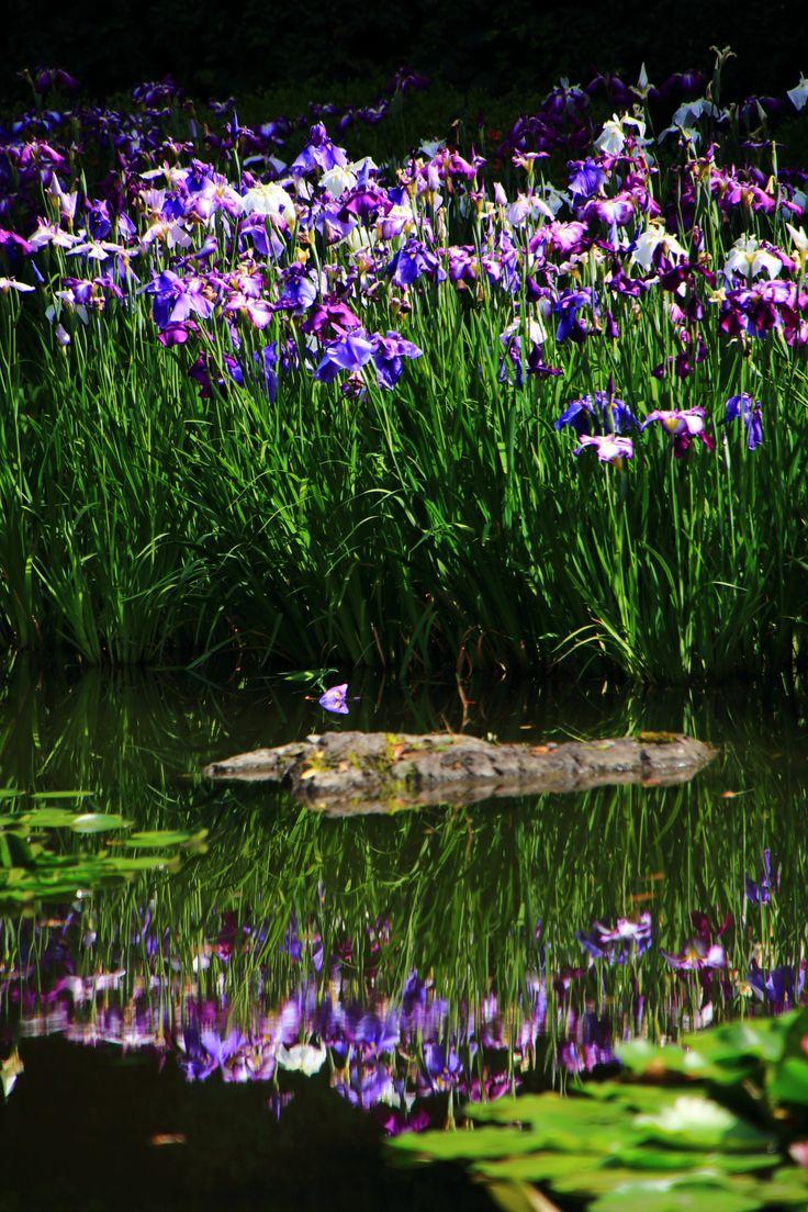 京都 平安神宮 花菖蒲 Japan,Kyoto,Heian-jingu Shrine,Iris