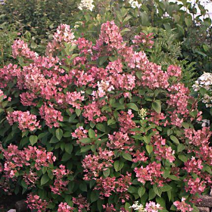 Hydrangea 'Quickfire'- such beautiful shades of pink.