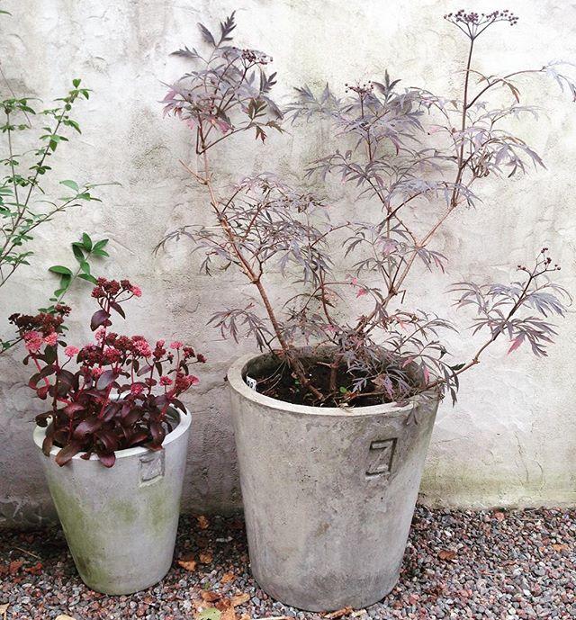 """Höstfärger! Blodfläder """"Black Lace"""" och kärleksört i krukor från @zetastradgard @villalinnea #trädgård #trädgårdsinspiration #minträdgård #garden #gardening #mygarden #garten #have #hage #jardin #villalinnea"""
