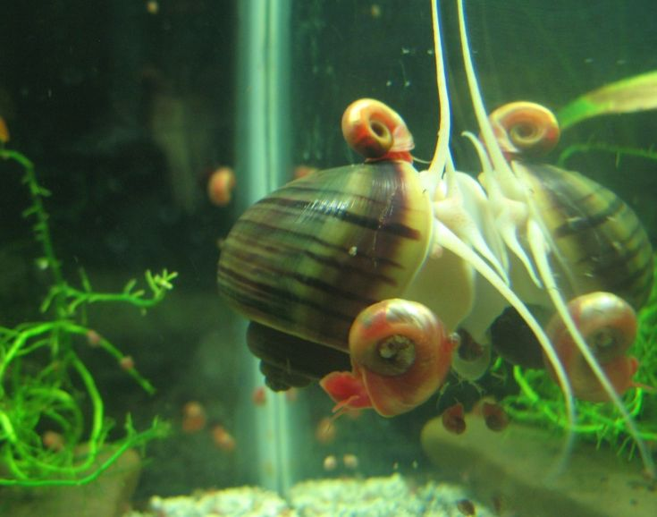 how to get rid of snails in a freshwater tank
