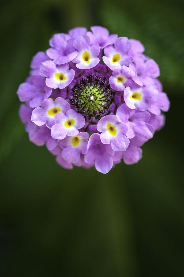 Lantana's aromatic flower
