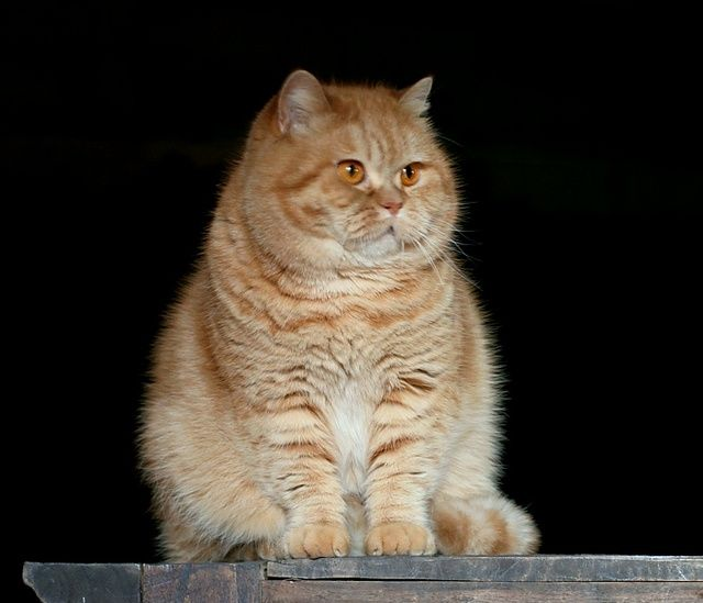 Pictures of Exotic Shorthair Cat Breed