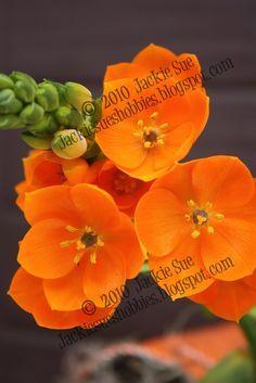 star of bethlehem flower orange = Reconciliation, Atonement, hope