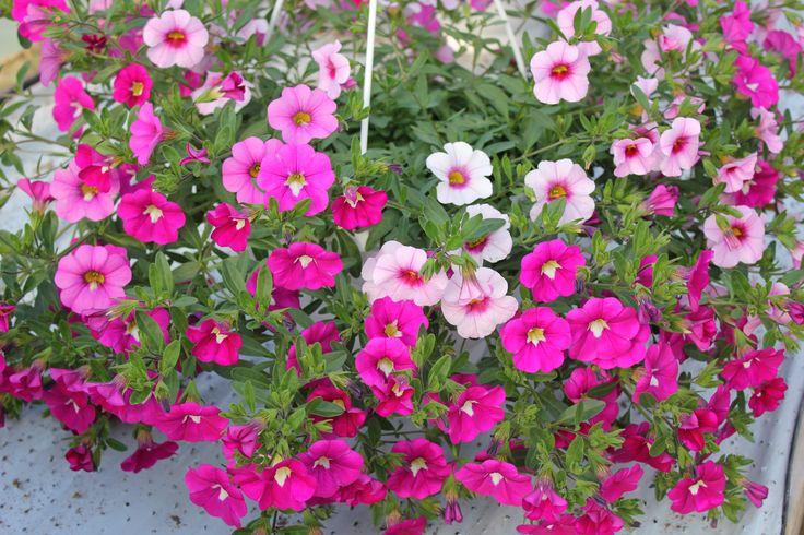 Japaninkello 'Calita trio pink morn-pink-rose'