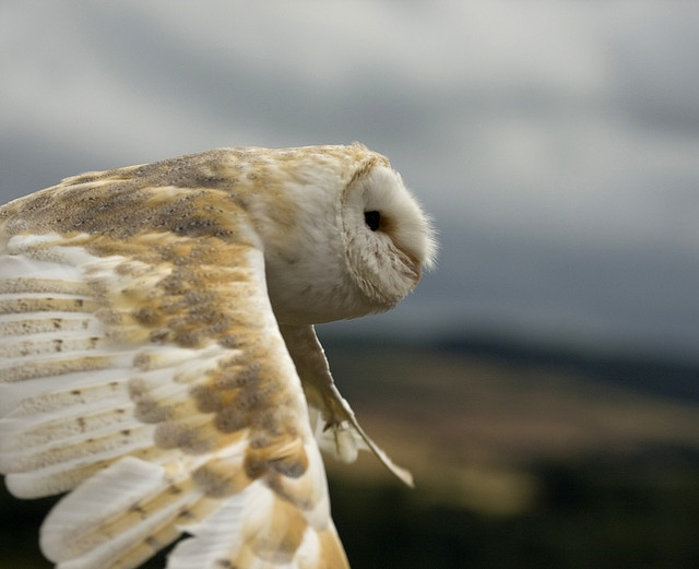 Barn owl in flight,