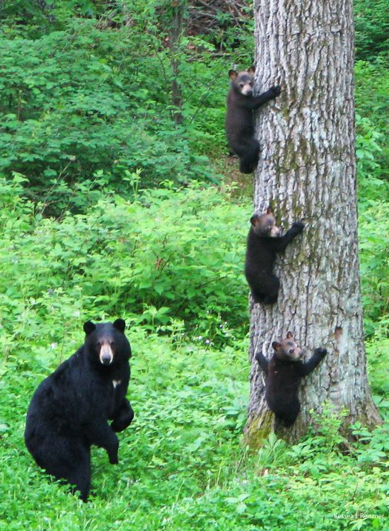 Image result for 3 bear cubs climbing tree